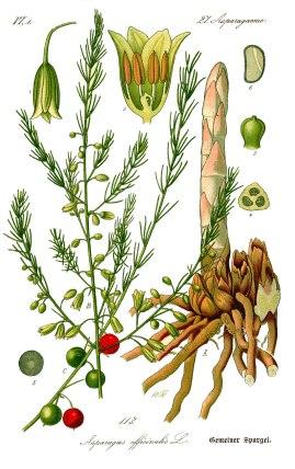 illustration_asparagus_officinalis0b